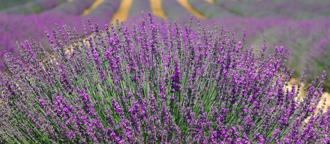huile essentielle lavande aromathérapie écologie écolo utilisation