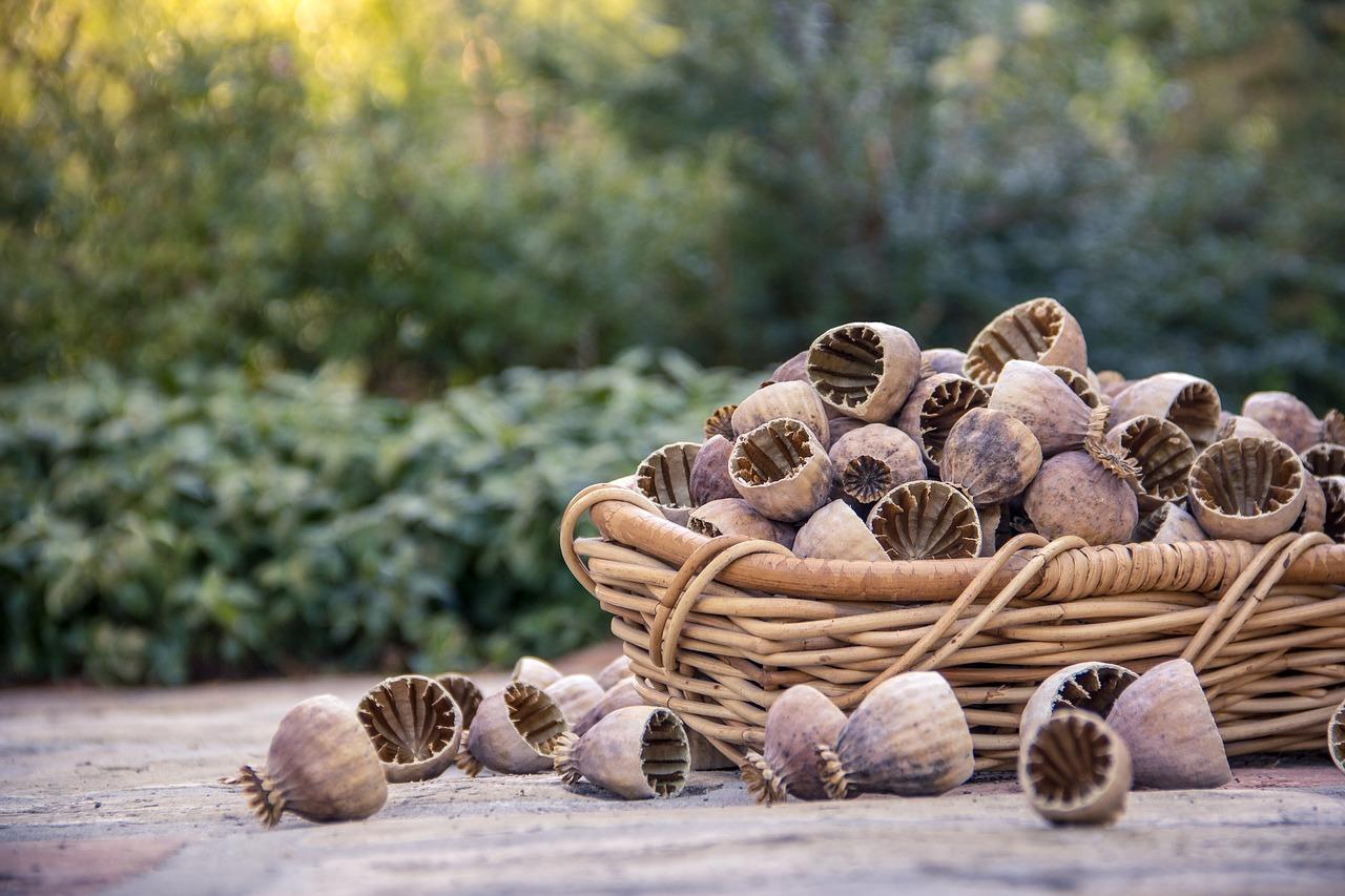 Tisane coquelicot remède naturel plante médicinale insomnie toux propriétés bienfaits utilisation dosage
